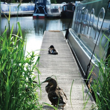Ducks at Cropredy